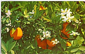 Florida Oranges and Orange Blossoms p29942 (Image1)