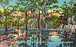 Giant Cypress Trees Monarchs Of Florida Forests P29987