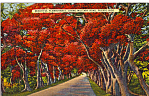 Flamboyant Trees on Road Out Of  Daguas, Puerto Rico (Image1)