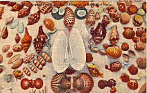 Florida Sea Shells Found On Gulf Beaches p30138 (Image1)