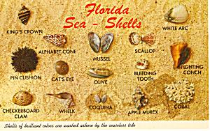 Florida Shells 15 Shells Shown Named Postcard p30144 (Image1)