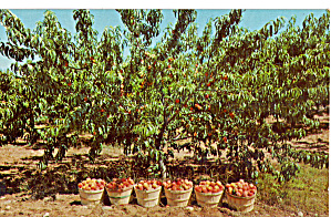 Crop of Peaches Ready for Market Postcard p30232 (Image1)