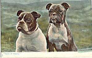Picture Of Two Boxer Dogs Raphael Tuck Postcard P30558