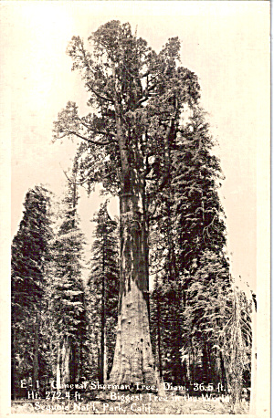 General Sherman Tree Sequoia National Park Ca P30573