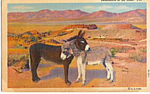 Burros Sweethearts of the Desert Postcard p30727 (Image1)