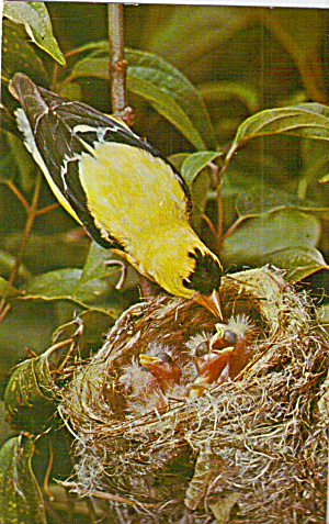 American Goldfinch On Nest Postcard P30737