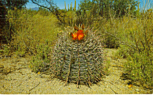Barrel Cactus in Bloom Postcard (Image1)