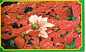 Poinsettias on Bird & Bloom Subscription Ad Card (Image1)