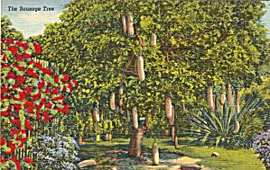 The Sausage Tree FL Postcard p30816 (Image1)