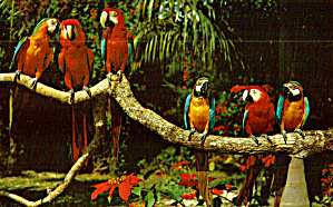 Parrots Posing on Tree Limb At Parrot Jungle Miami Florida p30845 (Image1)
