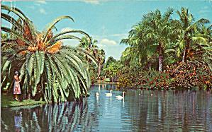White Swans Glide on Tropical Lake Sarasota Jungle Gardens FL p30851 (Image1)