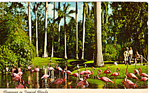Flamingos Sarasota Jungle Gardens Florida p30913 (Image1)