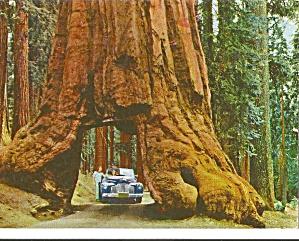 Yosemite National Park CA Wawona Tunnel Redwood Tree p31064 (Image1)