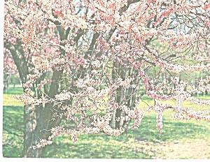 Oklahoma State Tree  Redbud Corsis Conadensis p31076 (Image1)