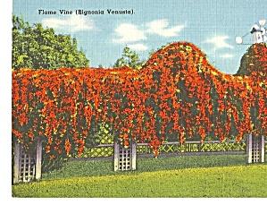 Flame Vine Bignonia Venusta on Trellis (Image1)