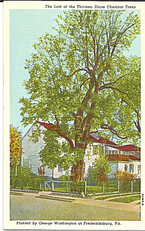 Last Of The Thirteen Horse Chestnut Trees Postcard P31175