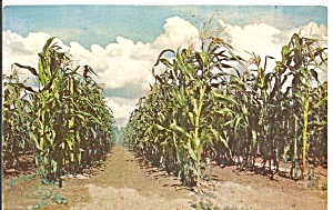 Tall Corn in Iowa Postcard p31210 (Image1)