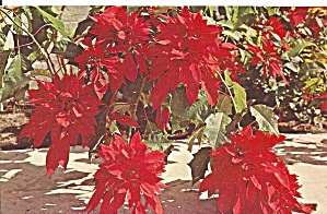 Triple Fireball Poinsettia (Image1)
