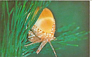 Orange Marginella Shell in Florida Postcard p31377 (Image1)