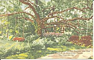 Gigantic Live Oak Tree St Petersburg Florida p31434 (Image1)