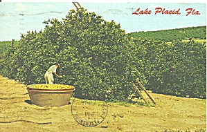 Lake Placid Florida Orange Groves P31435
