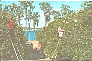 Florida Picking Oranges Postcard p31436 (Image1)