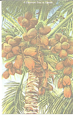 Florida Coconut Tree Postcard p31438 (Image1)