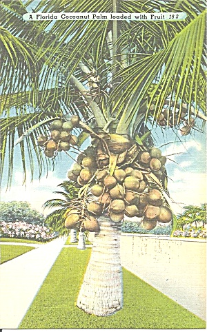 Florida A Coconut Palm Loaded With Fruit P31439