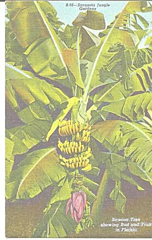 Sarasota Florida A Banana Tree with Fruit and Buds p31440 (Image1)