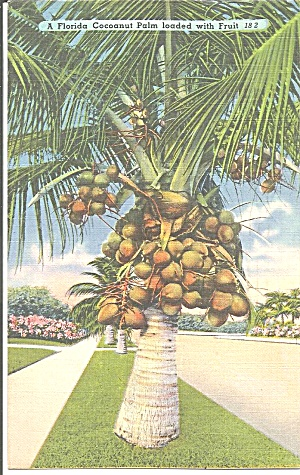 Florida A Coconut Palm Loaded With Fruit P31442
