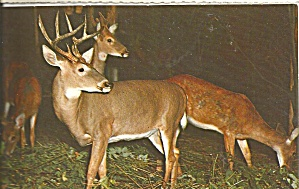 Bucks and Doe Postcard p31529 (Image1)