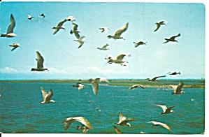 Flock of Seagulls in Flight Postcard p31530 (Image1)