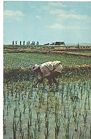 Tending Rice Paddies on Okinawa p31567 (Image1)