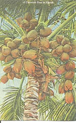 Coconut Tree In Florida Postcard P31597