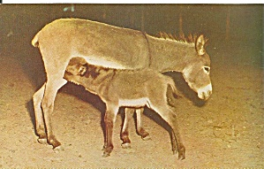 Pocono Wild Animals Scilian Donkey p31645 (Image1)