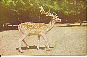Pocono Wild Animals European Spotted Fallow Deer P31647