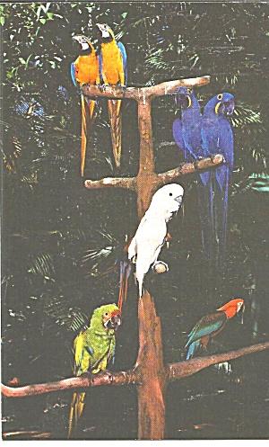 Jungle Gardens Florida, Colorful Macaws p31753 (Image1)