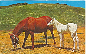 Mare and Her Colt Postcard p31786 (Image1)