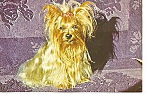 Yorkshire Terrier Sitting On A Couch Postcard P31874