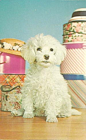 Poodle Mischief Maker (Image1)