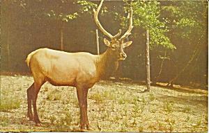 American Elk or Wapiti (Image1)