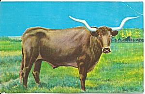 The Vanishing American Famous Loghorn Steer p31905 (Image1)