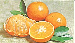 Florida Temple Oranges Postcard p31910 (Image1)