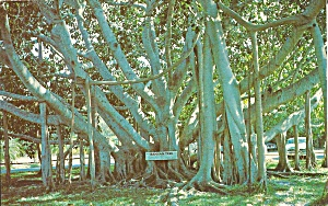 Florida Banyan Tree Postcard P31915