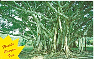 Huge Florida Banyan Tree Postcard P31916