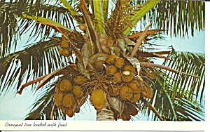 Coconut Tree Loaded With Fruit P31924