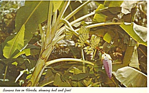 Banana Tree with Fruit and Buds p31926 (Image1)