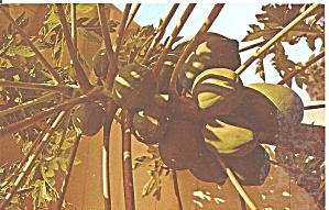 Papaya Tree  with fruit p31932 (Image1)