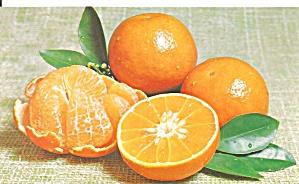Florida Temple Oranges Postcard p31946 (Image1)