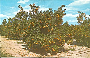 Central Florida Orange Groves P31947